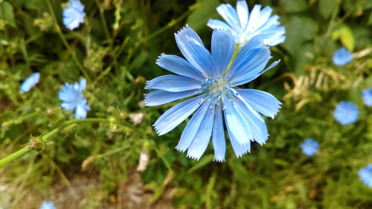 flower, nature, beauty in nature, petal, fragility, blue, growth, flower head, blooming, freshness, plant, no people, outdoors, spring, day, close-up