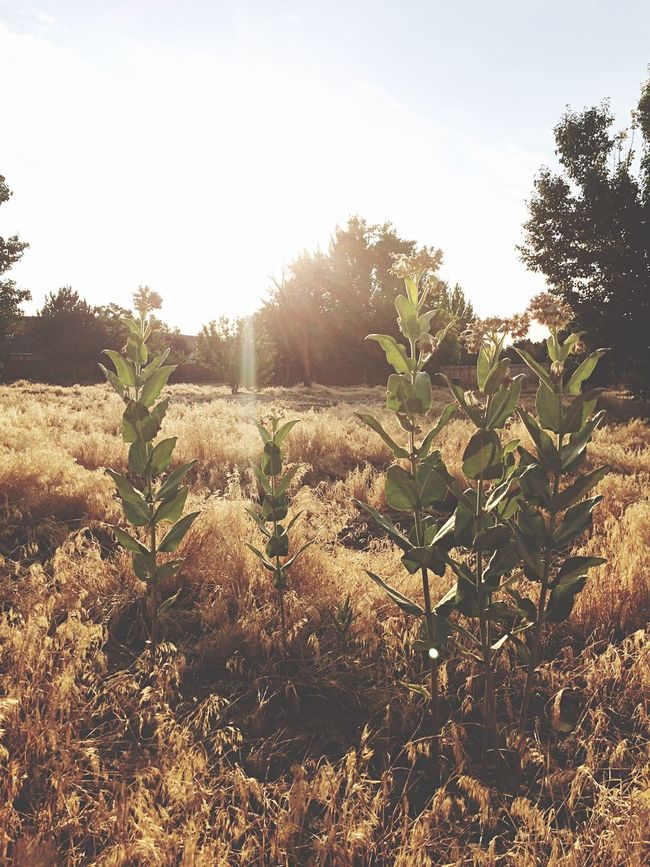 Fields of Gold. Seen on my morning walk Nature On Your Doorstep Nature Sunrise Getting Inspired IPhoneography Landscape Sunlight Enjoying Life