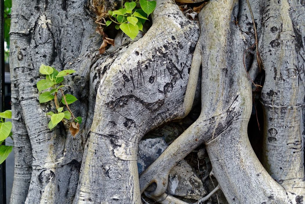 Bark Beauty In Nature Bodhitree Close-up Day Focus On Foreground Forest Green Green Color Growth Natural Pattern Nature No People Outdoors Plant Textured  Tranquility Tree Tree Trunk Wood - Material