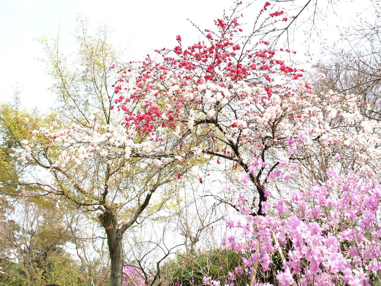 flower, tree, blossom, beauty in nature, pink color, branch, fragility, springtime, nature, freshness, growth, low angle view, day, no people, outdoors, close-up, sky, flower head