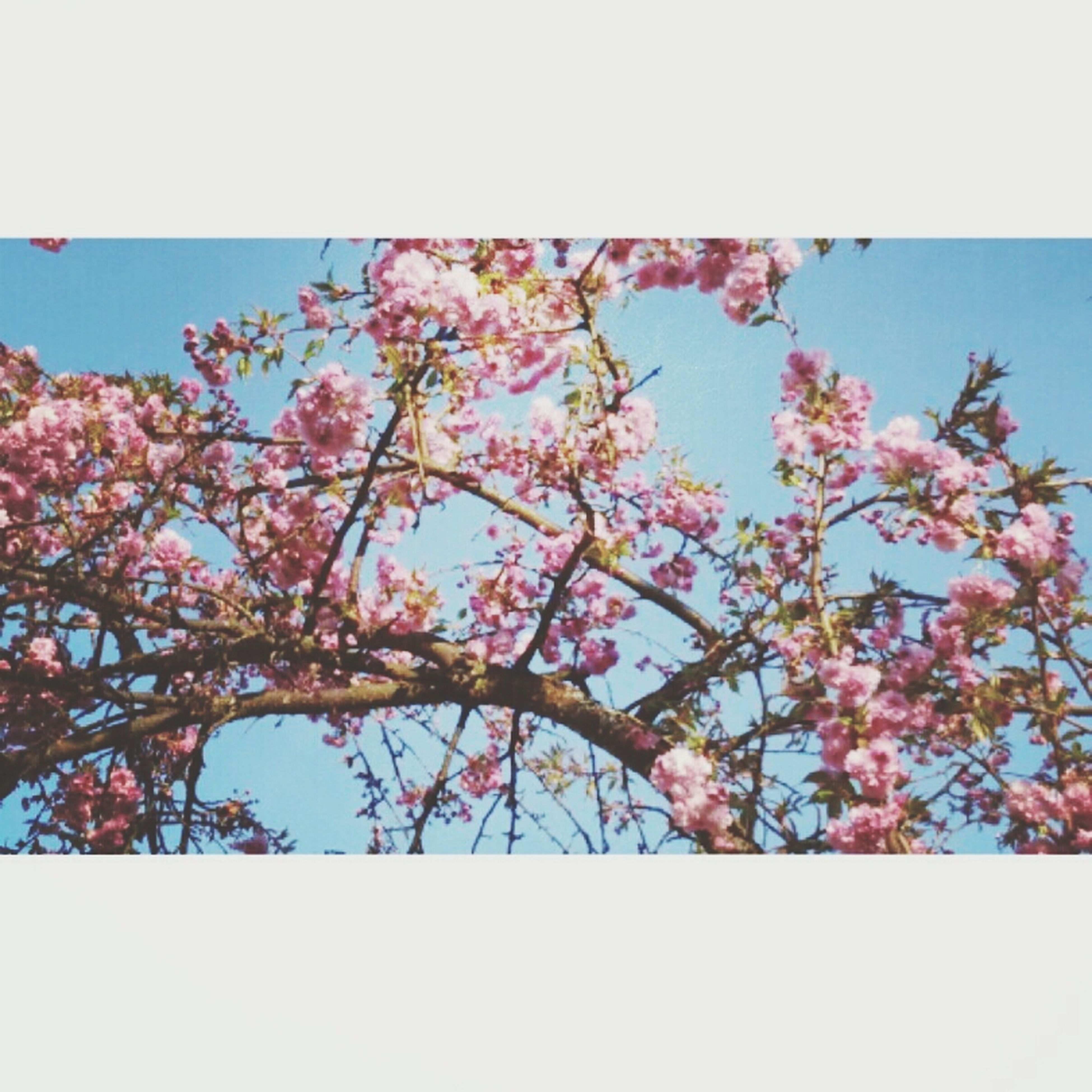 flower, freshness, growth, fragility, beauty in nature, low angle view, clear sky, tree, nature, branch, blossom, blooming, pink color, sky, in bloom, petal, blue, auto post production filter, springtime, day