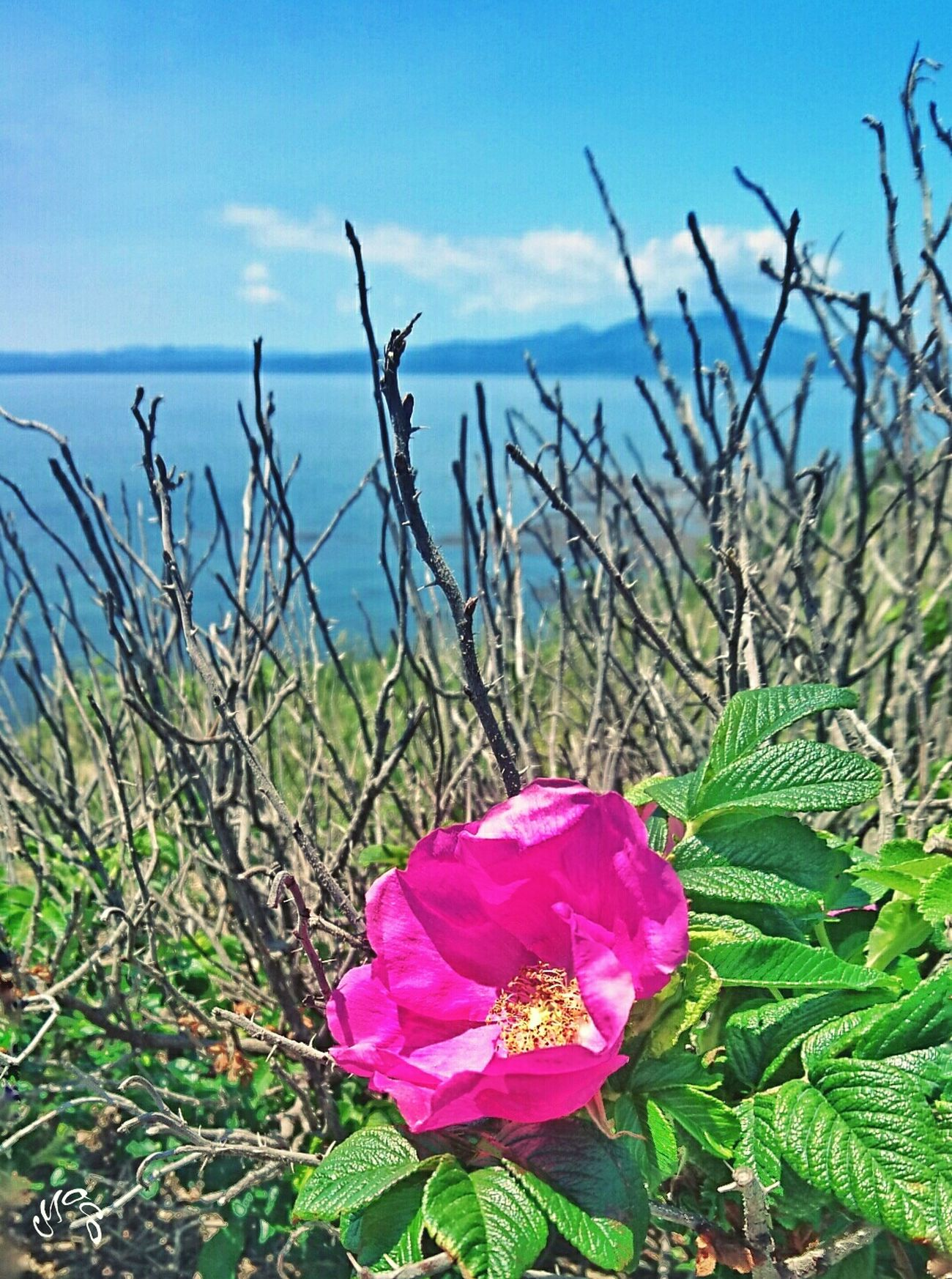 はまなすの花🌼良い香りが漂ってた💕 ハマナス Eyeem Flower Lover Sky Sea 空 海 花 EyeEm Nature Lover EyeEm Gallery Eyeem Photography Japanese Rose Rugosa Rose Ramanas Rose Ultimate JapanRamanasrose Japan Sky Of Japan Eyeem Sky_collection Japan Photography