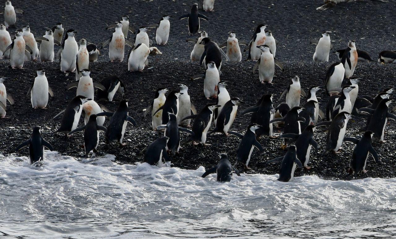 Animal Themes Animals In The Wild Antarctic Antarctic Peninsula Antarctica Chinstrap Penguin Penguin Penguin Diving Penguins Penguins In Water Polar  Polar Climate Swimming Penguin Water