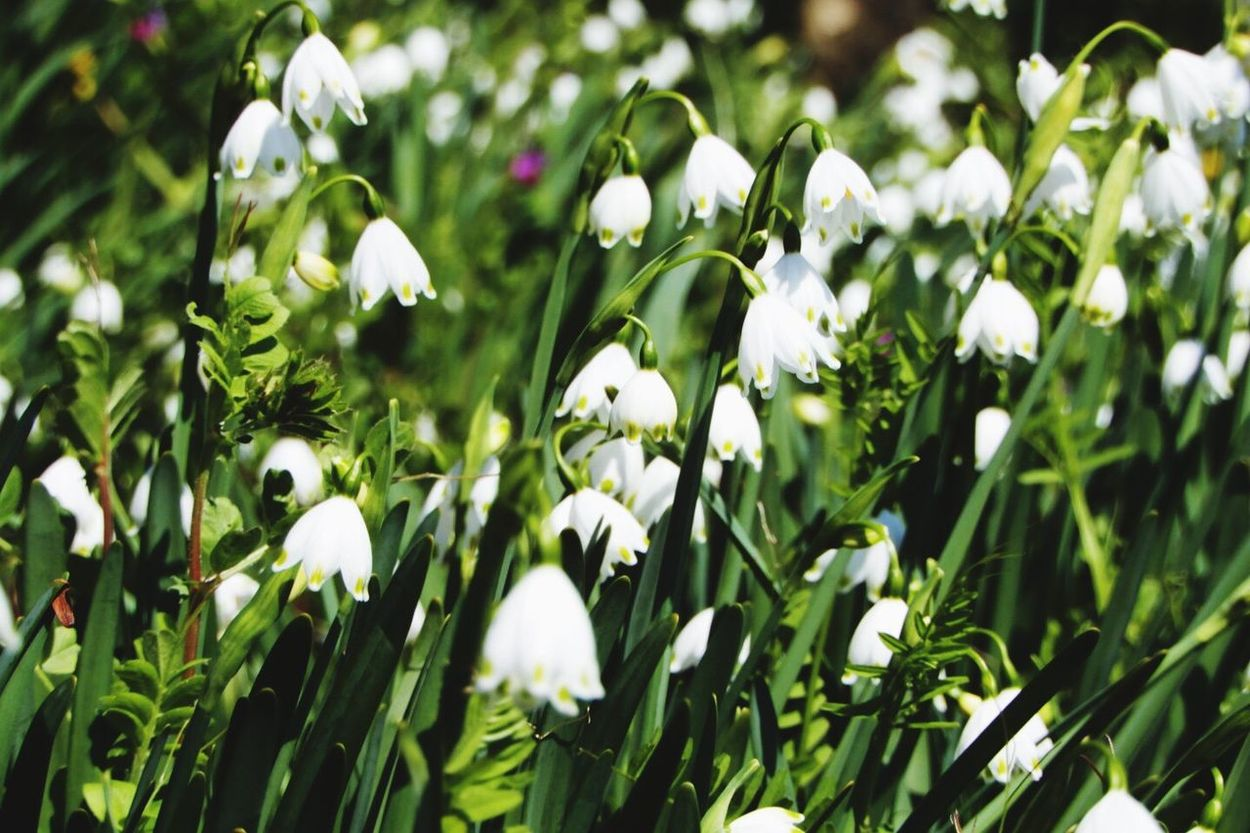 Growth Flower Freshness Nature Beauty In Nature White Color Petal Snowdrop Fragility Blooming Plant Day Flower Head Green Color Close-up No People Outdoors