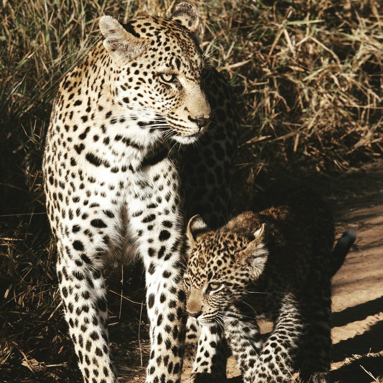 Leopard and her cub in South Africa Leopard Cat Cats Nature Animals South Africa Wild Safari Kingscamp Cub