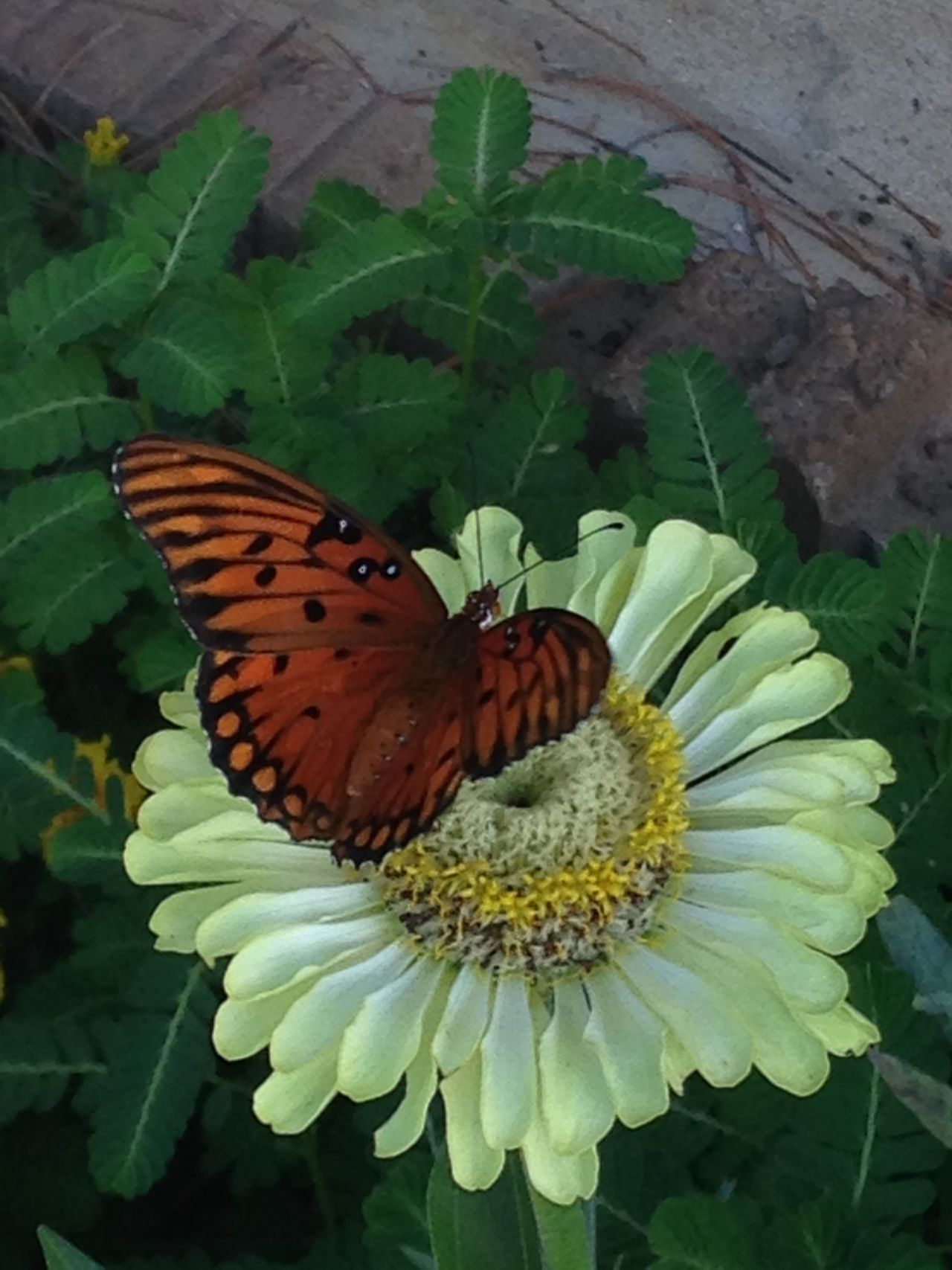 Happiness Butterflies Flower Garden Green Envy Zinnia Mother Nature Feeding Mother Nature My Favorite Thing No Editing Needed Spring Into Fall Springtime EyeEmNewHere