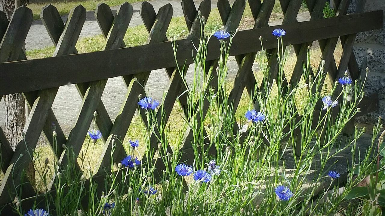 Blümchen Flowers, Nature And Beauty Blue Flowers Taking Photos Wonderful Nature Wooden Fence Gräser Blütenschönheit Flowerporn Kornblume