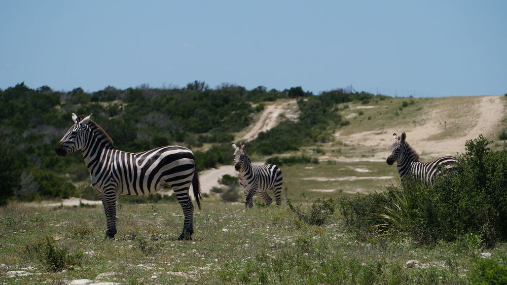 Family of Zebra 3 Family Animal Themes Animal Wildlife Animals In The Wild Beauty In Nature Clear Sky Day Field Grass Mammal Nature No People Outdoors Safari Animals Sky Striped Three Tree Zebra