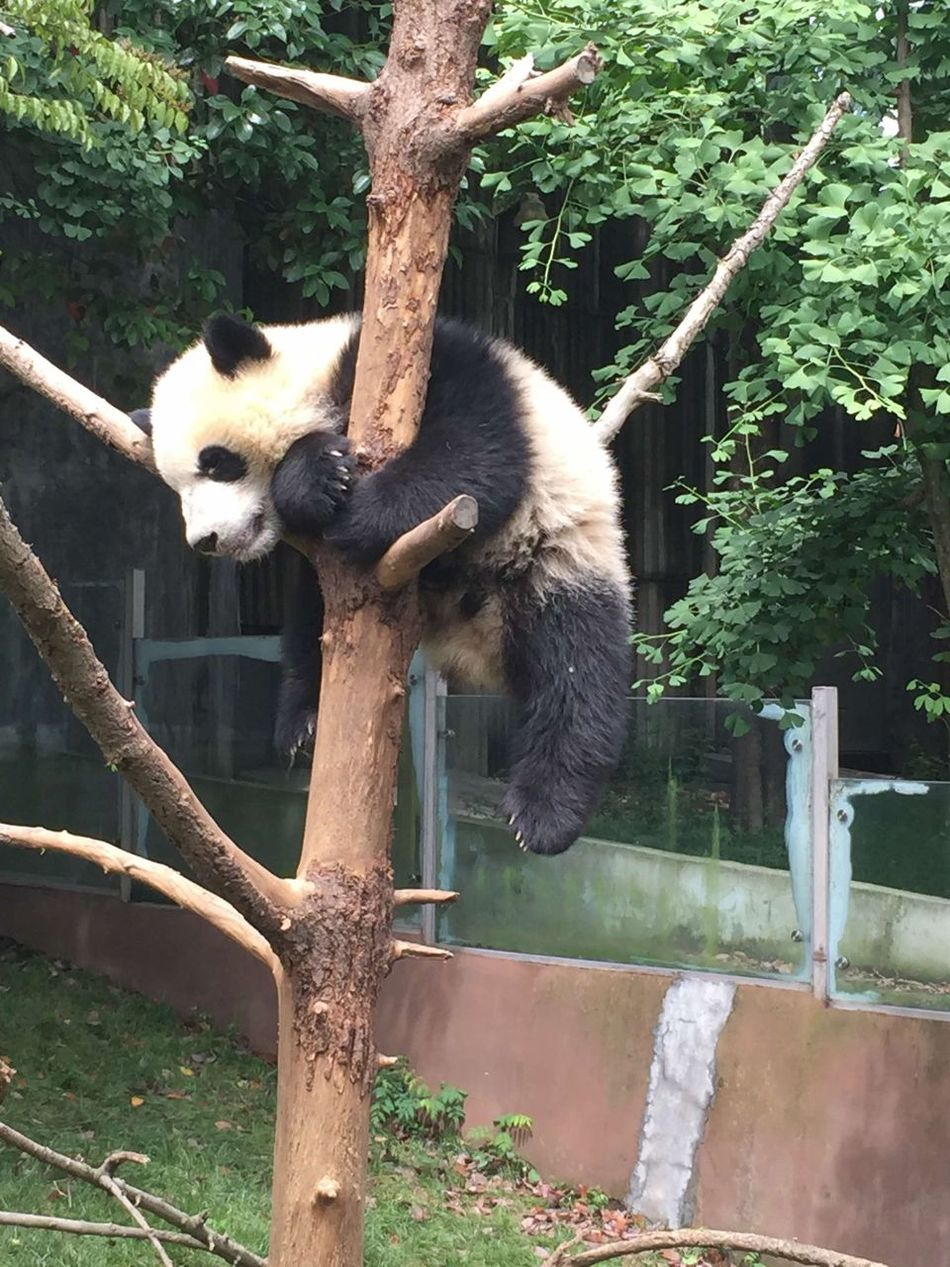 Panda PANDA ♡♡ Pandora Pandashots Relaxing Excercise Enjoying Life Little Panda Sleep Cheese! Cute Back White Animals Big Cat Smile Smile ✌ Have Fun Have A Nice Day♥ Enjoying Nature