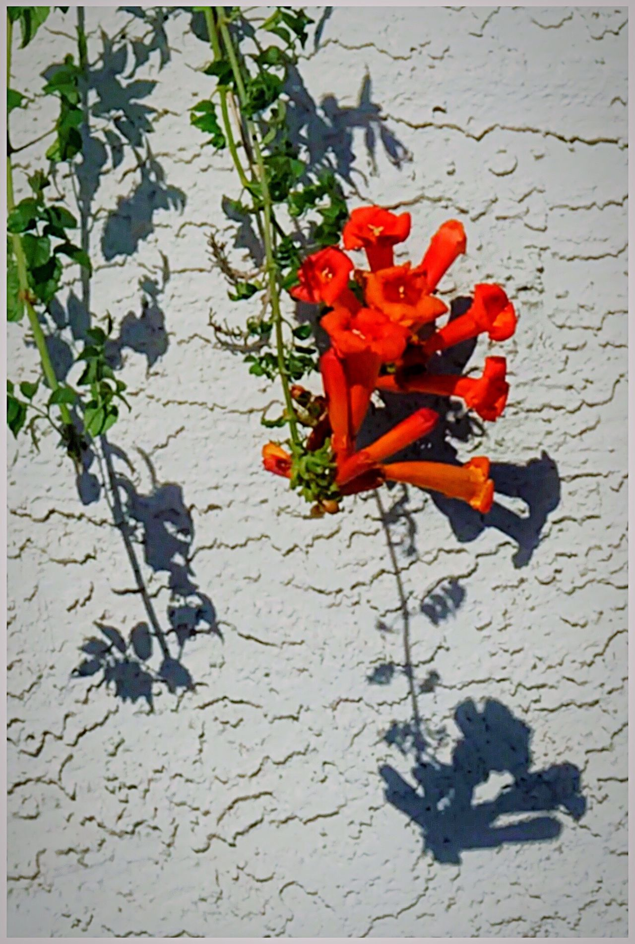 Trumpet Vine spills over a sound containment wall along Torrey Boulevard. Red Red Flowers Trumpet Vine Campsis Campsis Radicans Lookingup High Angle View Close-up Leaf Outdoors Bignoniaceae Curtain Walls Lessismore Minimalist Minimalobsession Minimalism This Week On Eyeem Eyeemphoto IPhoneography Malephotographerofthemonth Wildflowers Branch wildflowe s