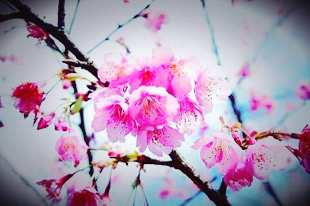 Sakura in Thailand. 🌼💝 Flowers Flowerporn Pink Flower Flower Collection Naturelovers Nature_collection Eyeem Nice Shots