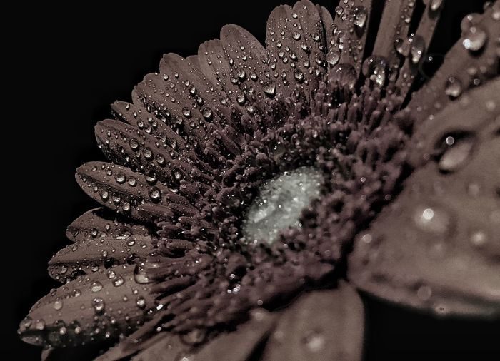 Flower African Daisy Drop Close-up Macro Blackandwhite Blackandwhite Photography Beauty In Nature Nature Taking Photos Hello World Flower Head Freshness 👋🏻🐽👍🏻