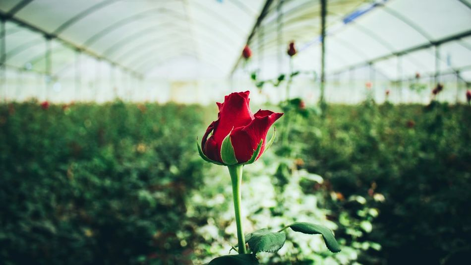 Growth Plant Red Flower Nature Agriculture Beauty In Nature Freshness Close-up Greenhouse Focus On Foreground Leaf Flower Head Day Fragility EyeEm EyeEm Gallery EyeEm Best Shots Canon Green Canonphotography Africa