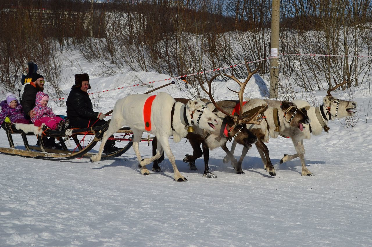 The Festival Of The North. Riding on a reindeer sleigh. Animal Themes Cold Temperature Day Domestic Animals Horsedrawn Lifestyle Mammal No People North Northern People Outdoors Reindeers Snow Winter Working Animal