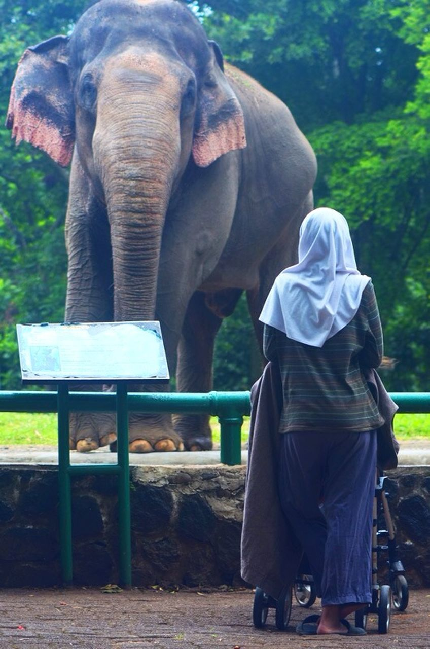 elephant, one animal, real people, rear view, full length, mammal, tree, standing, outdoors, animal wildlife, day, animals in the wild, domestic animals, men, one person, food, animal trunk, nature, people