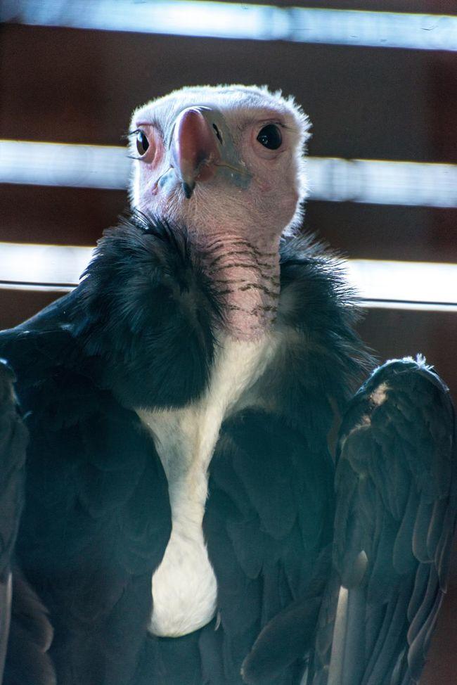 condor bird Animal Body Part Animal Head  Animal Themes Bird Of Prey Black Color Cage Close-up Con Day Focus On Foreground Mammal Nature No People Portrait