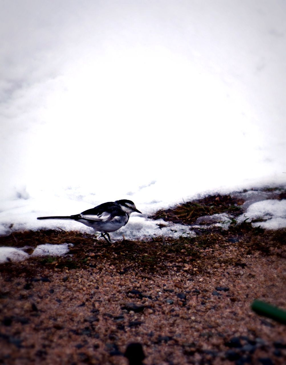 one animal, animal themes, animals in the wild, nature, day, outdoors, animal wildlife, no people, bird, full length, beauty in nature, water, snow, sky, close-up