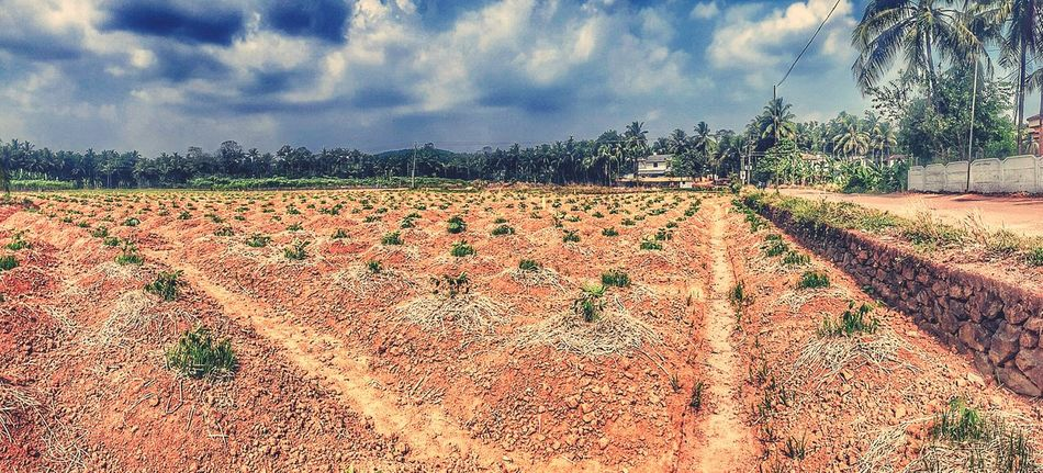 Tapioca Agriculture Cloud - Sky Growth Agriculture Rural Scene Sky Tree Outdoors Day Nature Beauty In Nature India Tapioca Agriculture Pattern Agriculture Way Farm Life Mud Textured  Sun