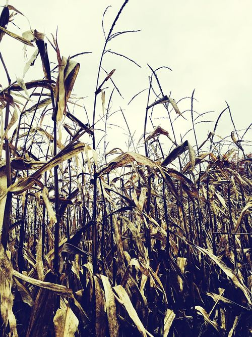 Corn Field Harvest Autumn Simple Country Life Changing Seasons Itsgettingcold Stalk Bland Tall