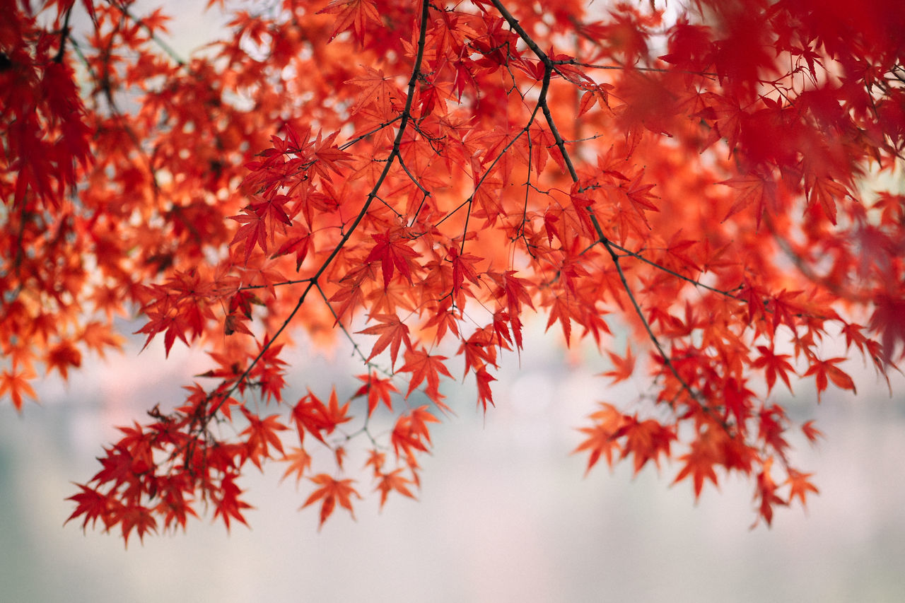 Close-Up Of Leaves On Tree, Autumn Japan. Autumn Beauty In Nature Branch Change Close-up Colour Image Day Focus On Foreground Fragility Freshness Growth Japan Leaf Low Angle View Maple Maple Leaf Maple Tree Nature No People Outdoors Red Scenics Tranquil Scene Tranquility Tree