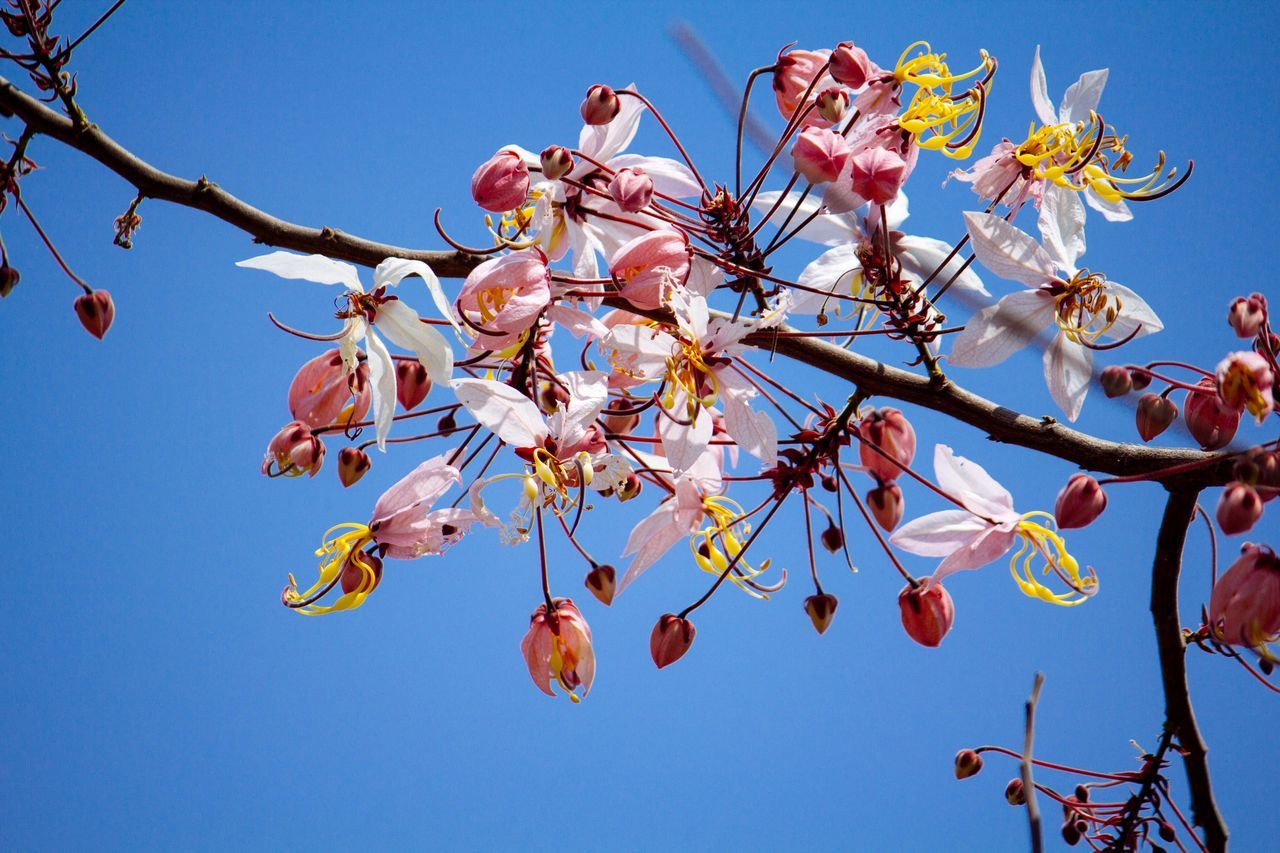 flower, tree, branch, fragility, beauty in nature, low angle view, growth, springtime, blossom, nature, freshness, clear sky, day, orchard, no people, botany, twig, outdoors, sky, apple blossom, petal, plum blossom, blue, flower head, close-up