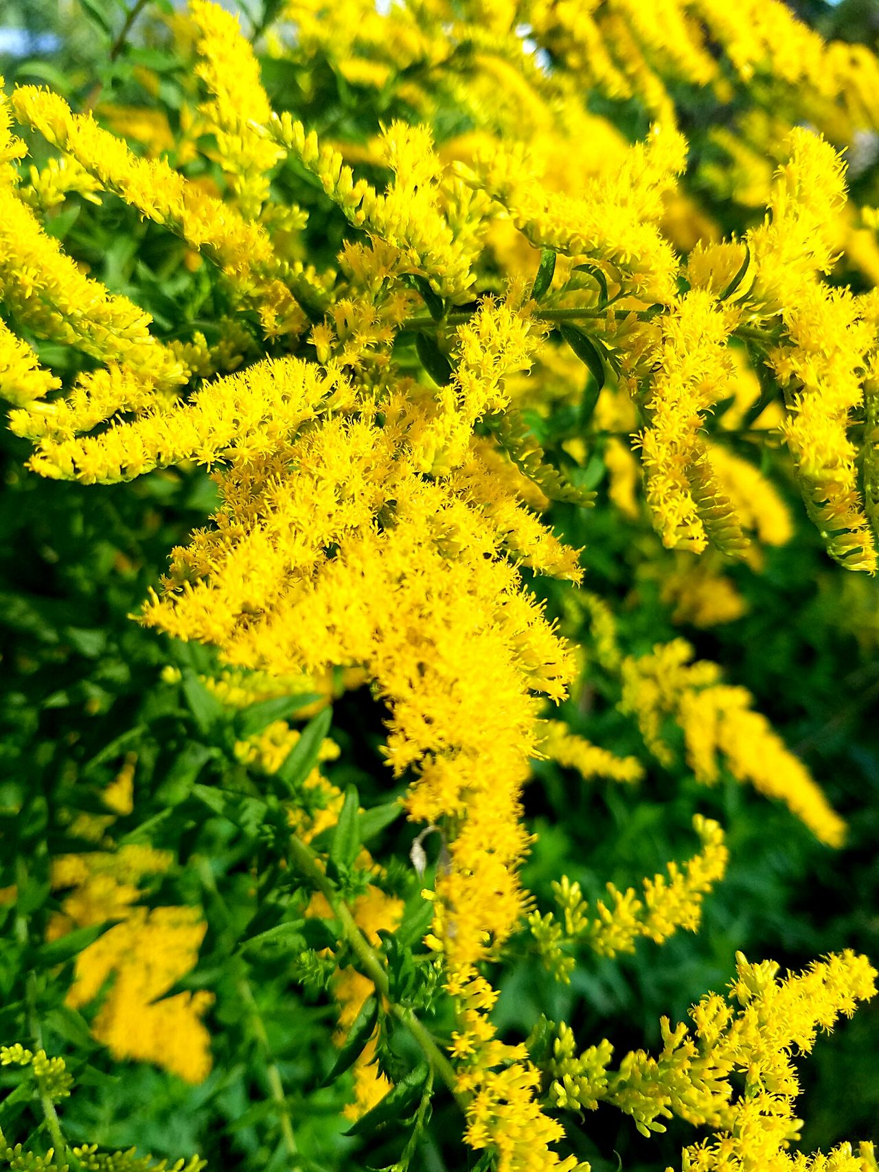 Goldenrod Yellow Flower Nature Beauty In Nature Happiness Country Roads Beautiful Serenity Tranquility Minnesota FlowerGardening Vibrant Colors Natural Light CountryLivinG Myview Freshness HelloEyeEm