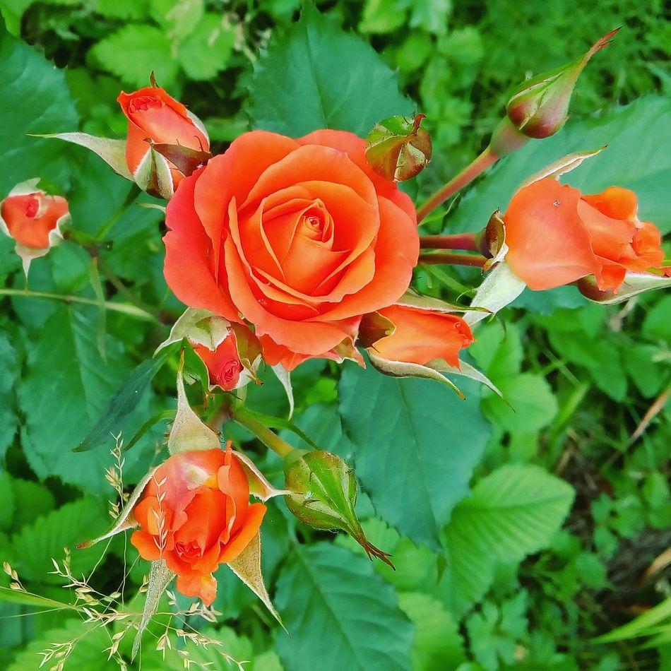 Roses Rose🌹 Orange Orange Color Flowers Flower Nice Beautiful Beautiful Nature Nature троянда краса троянди Природа квіти цветы розы