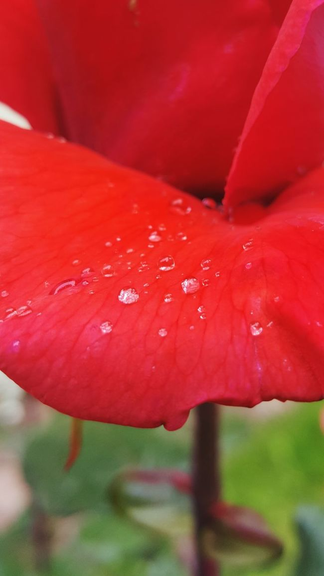 Red Rose Waterdrops After Rain...
