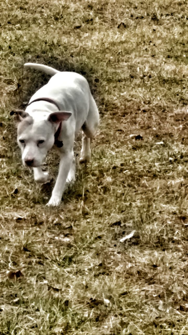 domestic animals, dog, one animal, animal themes, pets, mammal, day, field, pet collar, full length, grass, outdoors, no people, weimaraner, nature, beagle