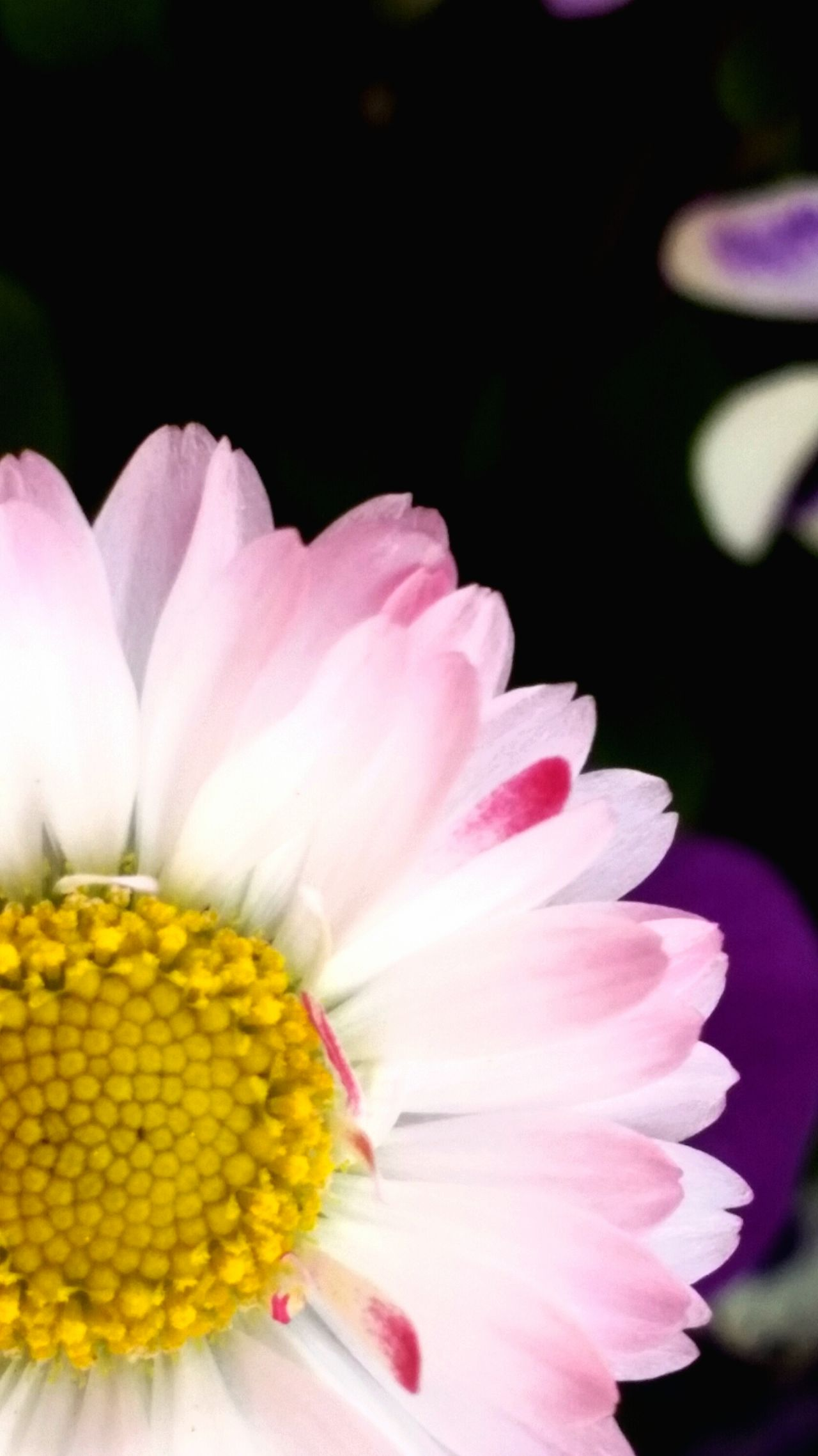 Flower Pink Color Petal Close-up Flower Head Beauty In Nature Nature Freshness Fragility No People Pollen Day Outdoors Daisy Close Up Daisy