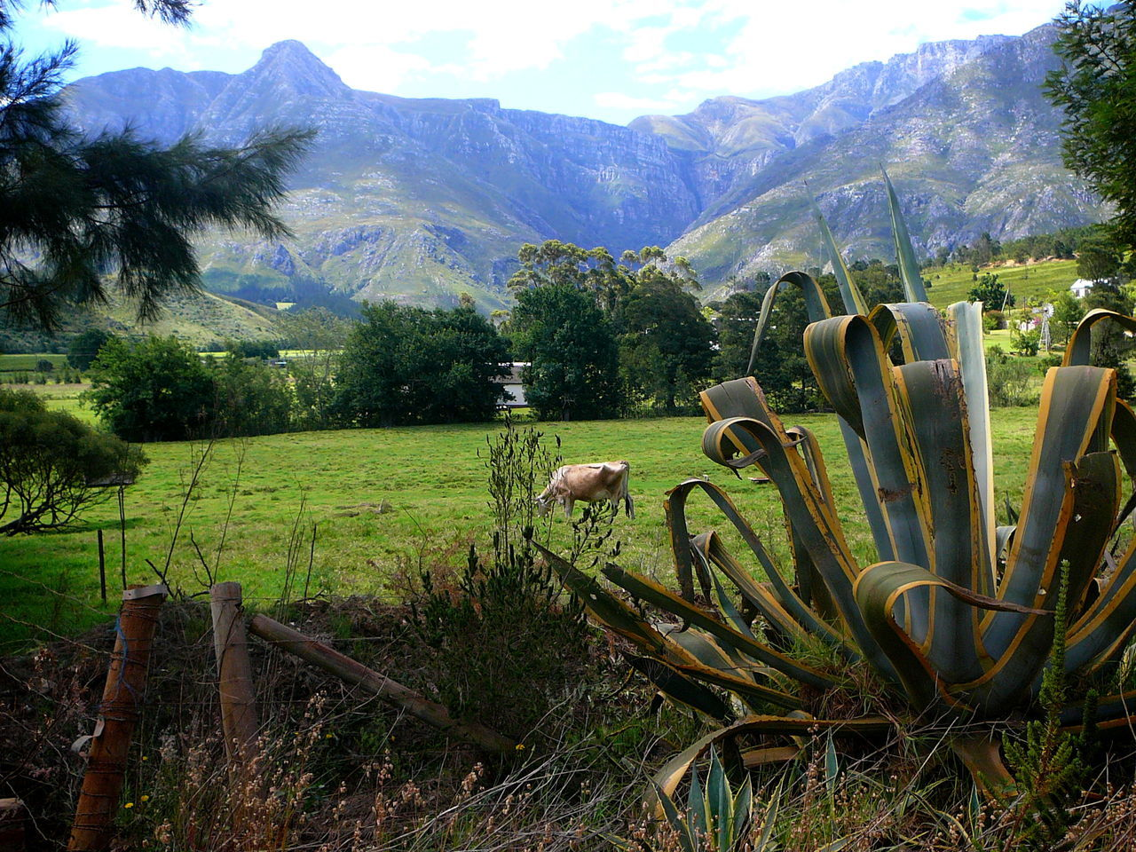 Blissfully Grazing Beauty In Nature Blue Mountains Cactus Close-up Cows In A Field Day Field Grazing Cattle Green Color Growth Landscape Mountain Nature No People Outdoors Plant Scenics Sky Swellendam Tranquil Scene Tranquility Tree Western Cape