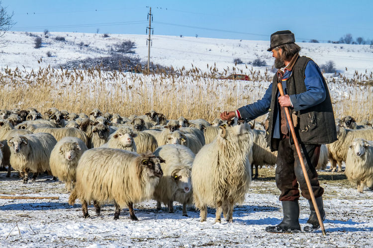 Shepherd Of The Sheep Agriculture Animal Themes Day Domestic Animals Farmer Field Flock Of Sheep Large Group Of Animals Lifestyles Livestock Mammal Nature One Person Outdoors People Real People Sheep Sky Standing