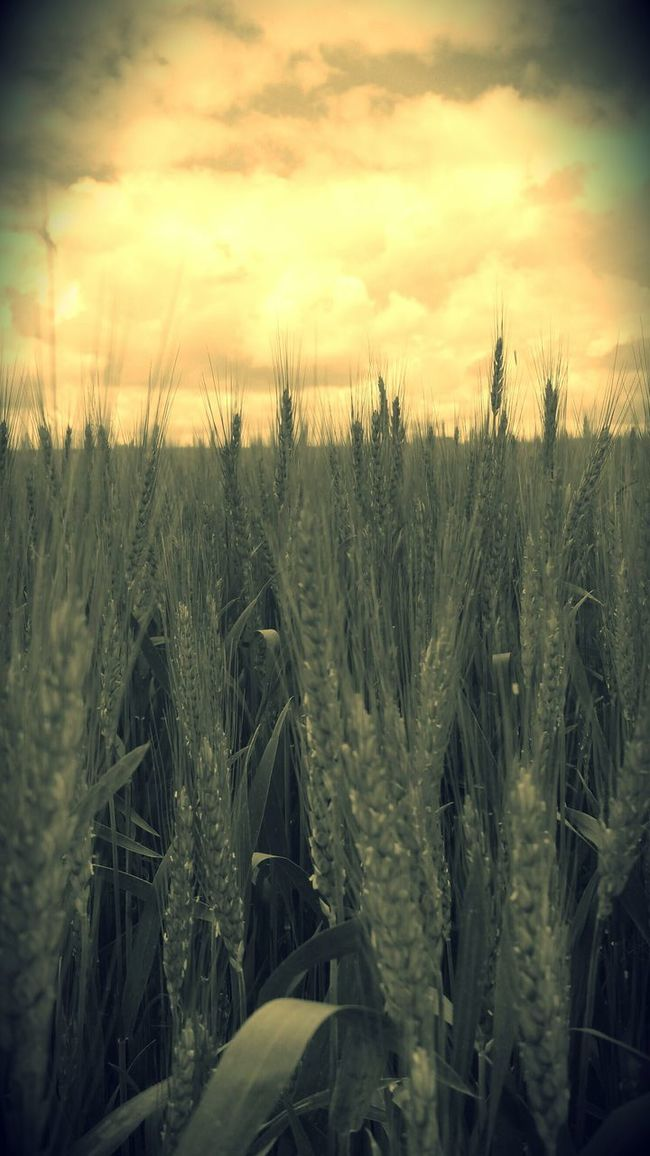 Dreamweaver Field Crops Wheat Field Sky Countryside Strange Colors Outdoors Crop  Tn Nature Scenic Landscapes Rural Scene Country