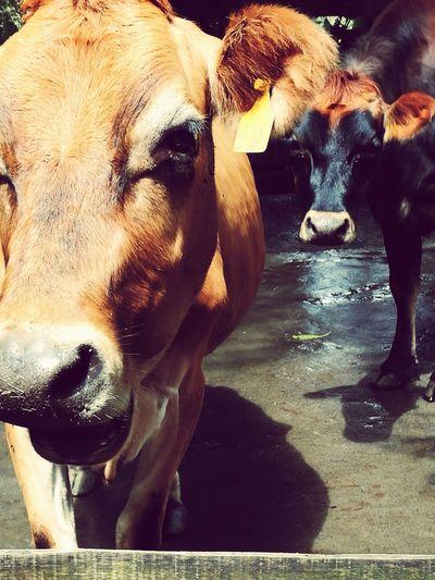 Adrianureña Cows Happiness Peace ✌ Animals Animal Love