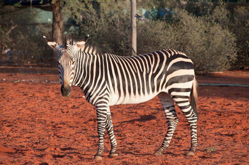 Hartmann's mountain zebra Animal Themes Animal Wildlife Bagatelle Kalahari Game Ranch Hartmann's Mountain Zebra Mammal Namibia Nature One Animal Safari Animals Zebra