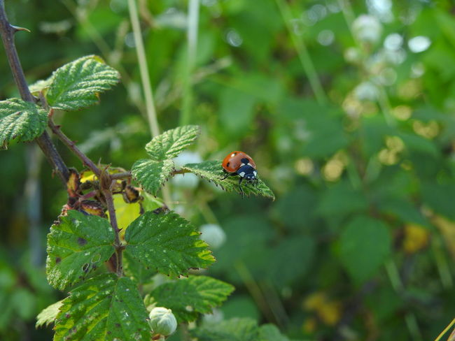Nikon Coolpix P900 Beauty In Nature Close-up Day Focus On Foreground Green Green Color Growth Insect Insect Paparazzi Insect Photography Lady Beetle Ladybeetle Ladybird Ladybug Leaf Nature Nikon Coolpix P900 Nikonphotography No People Outdoors Plant Selective Focus Twig Wildlife