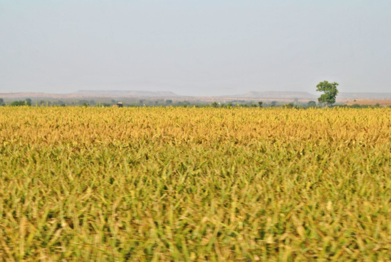 agriculture, field, nature, growth, landscape, crop, rural scene, cereal plant, no people, beauty in nature, tranquility, scenics, plant, day, outdoors, sky