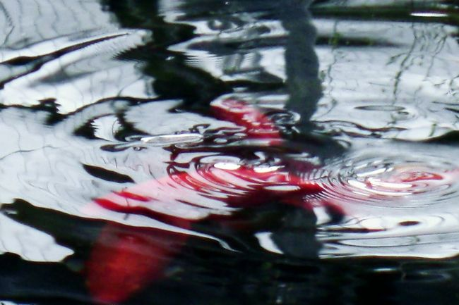 Water Fish Water Reflections Hi! Relaxing Enjoying Life EyeEm Nature Lover Koi Fish Cheese!Hello World Naturelover Playing With Pictures. Taking Photos Nature Sights & Views  Water Ripples Park