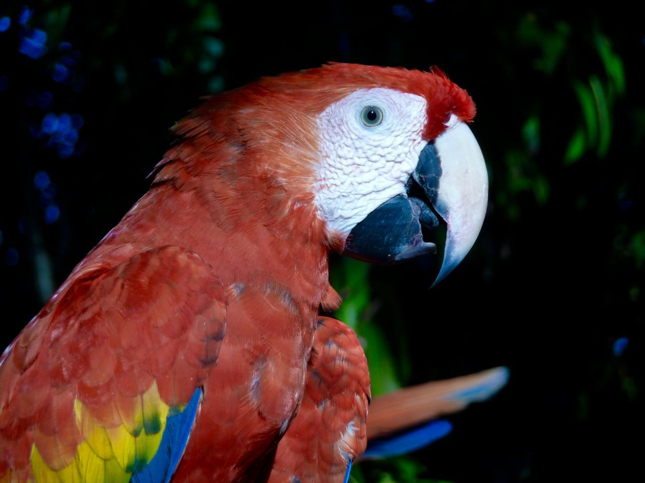 Side View Of Macaw