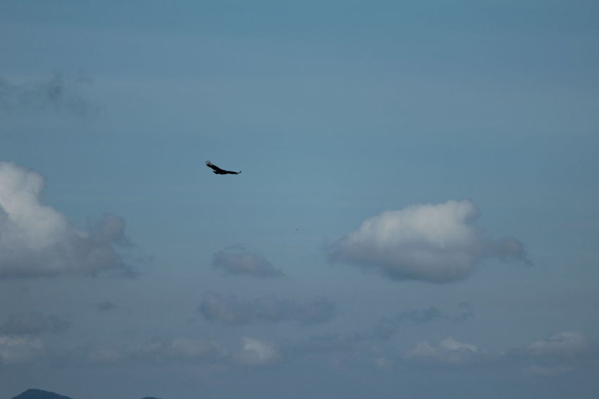 Animal Themes Bird Cloud - Sky Day Flying No People Outdoors Sky