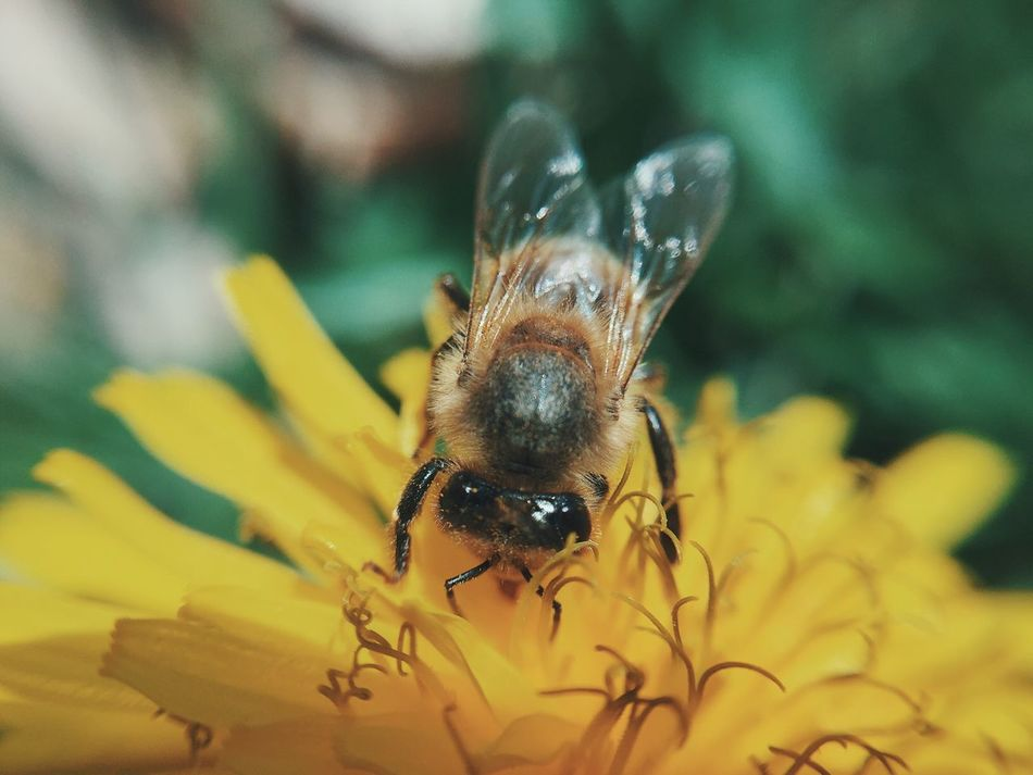 Macro Bee Insect Animal Themes Animals In The Wild Flower Nature Fragility One Animal Yellow Beauty In Nature Close-up Animal Wildlife Pollination No People Freshness Flower Head Day Outdoors