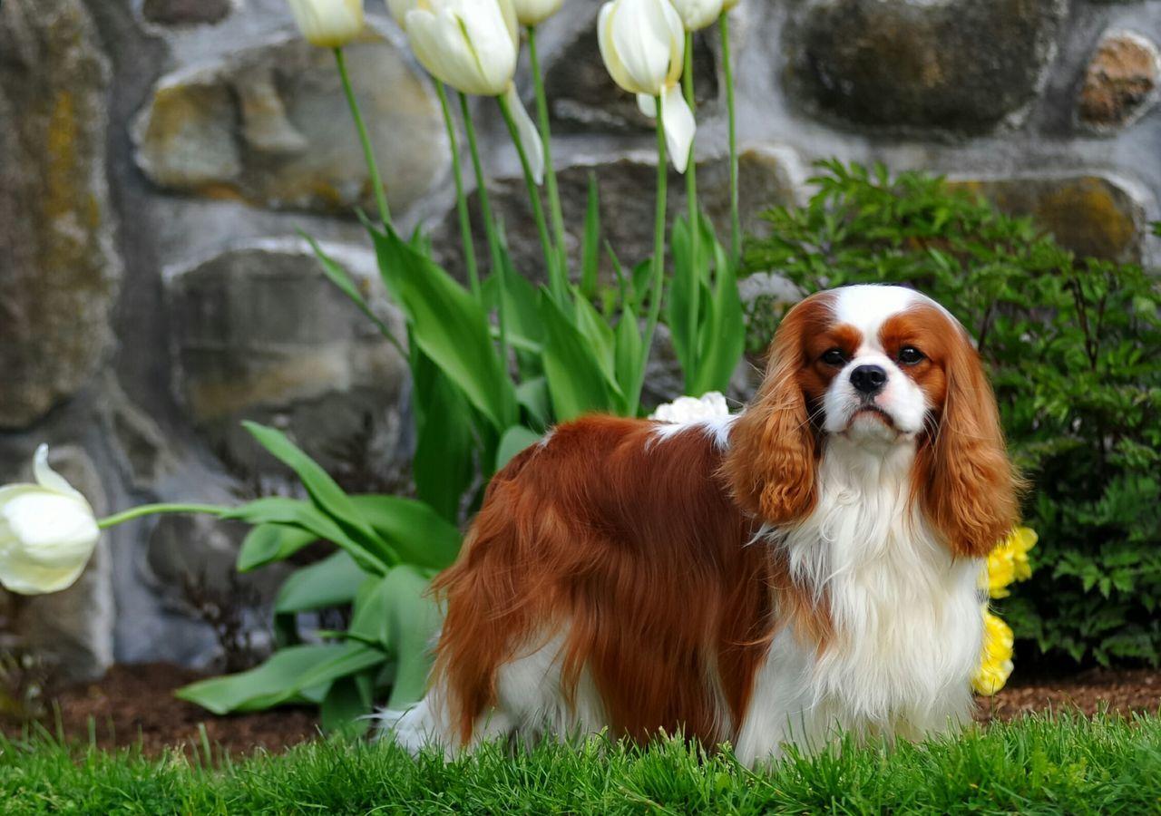 Leo is a very special Cavalier for me. Cavalier King Charles Spaniel Cavalierking Cavalierkingcharlesspaniel Ckcs Spring Flowers Springtime Dog Show Cavalierkingcharles Blenheim