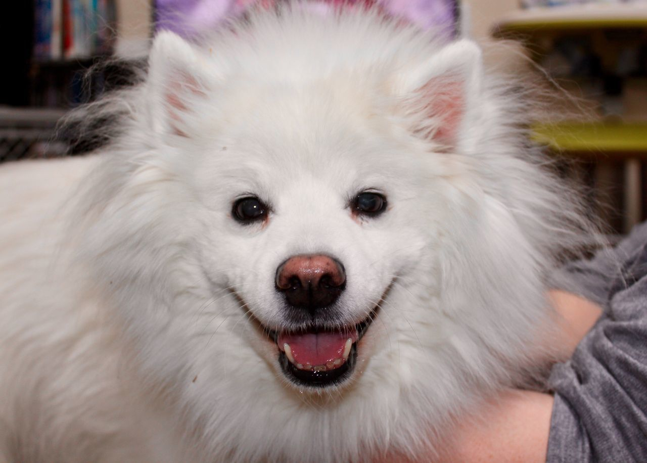 animal themes, one animal, mammal, pets, domestic animals, dog, close-up, focus on foreground, looking at camera, indoors, portrait, no people, day