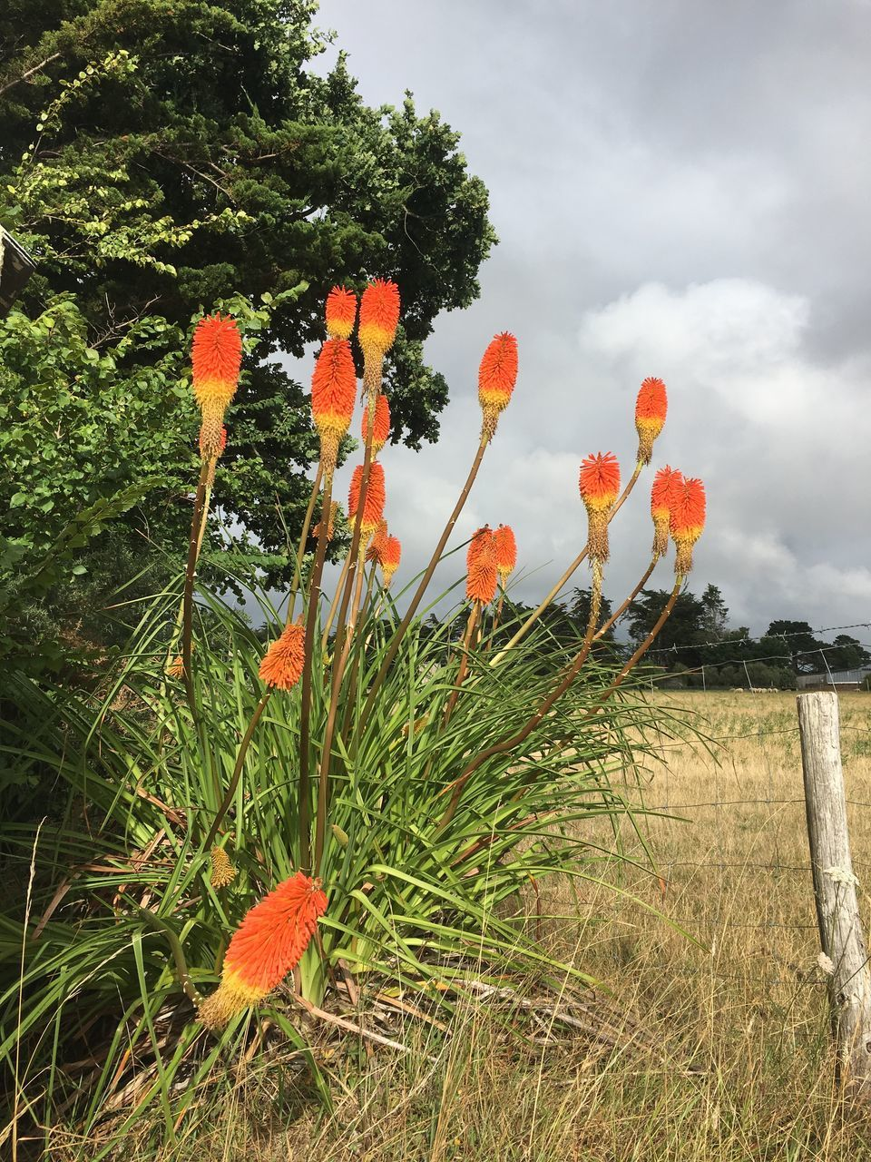growth, orange color, nature, field, plant, no people, outdoors, beauty in nature, day, sky, poppy, grass, flower, tree, fragility, freshness, close-up