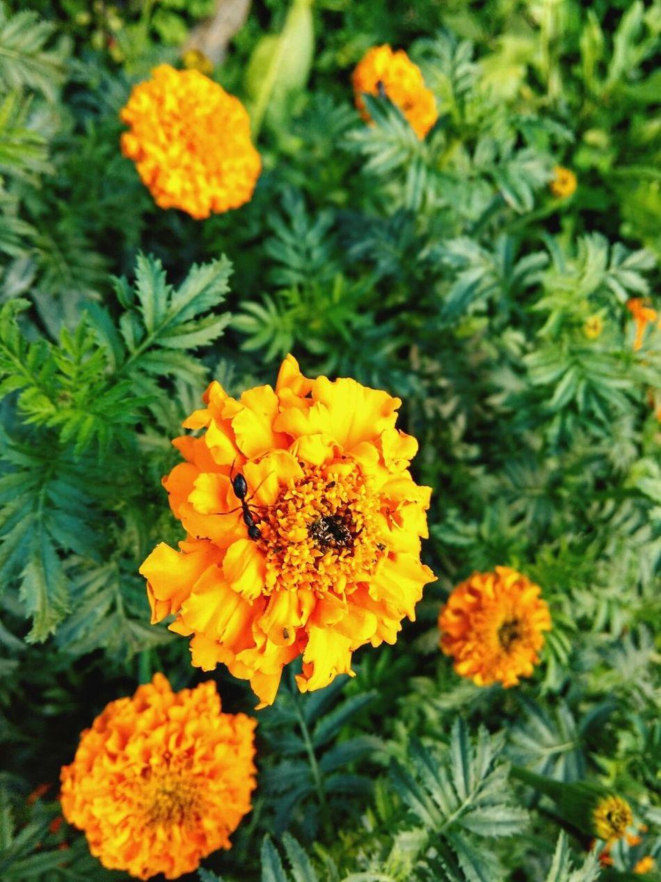 Flowers Yellow Flowers Marigold 💚 Flower Photography Black Ant On The Flower Black Ant Focused Lens Blur Nature Mobile Photography Good Morning✌♥ Eyeem🐛💯👚😢💚