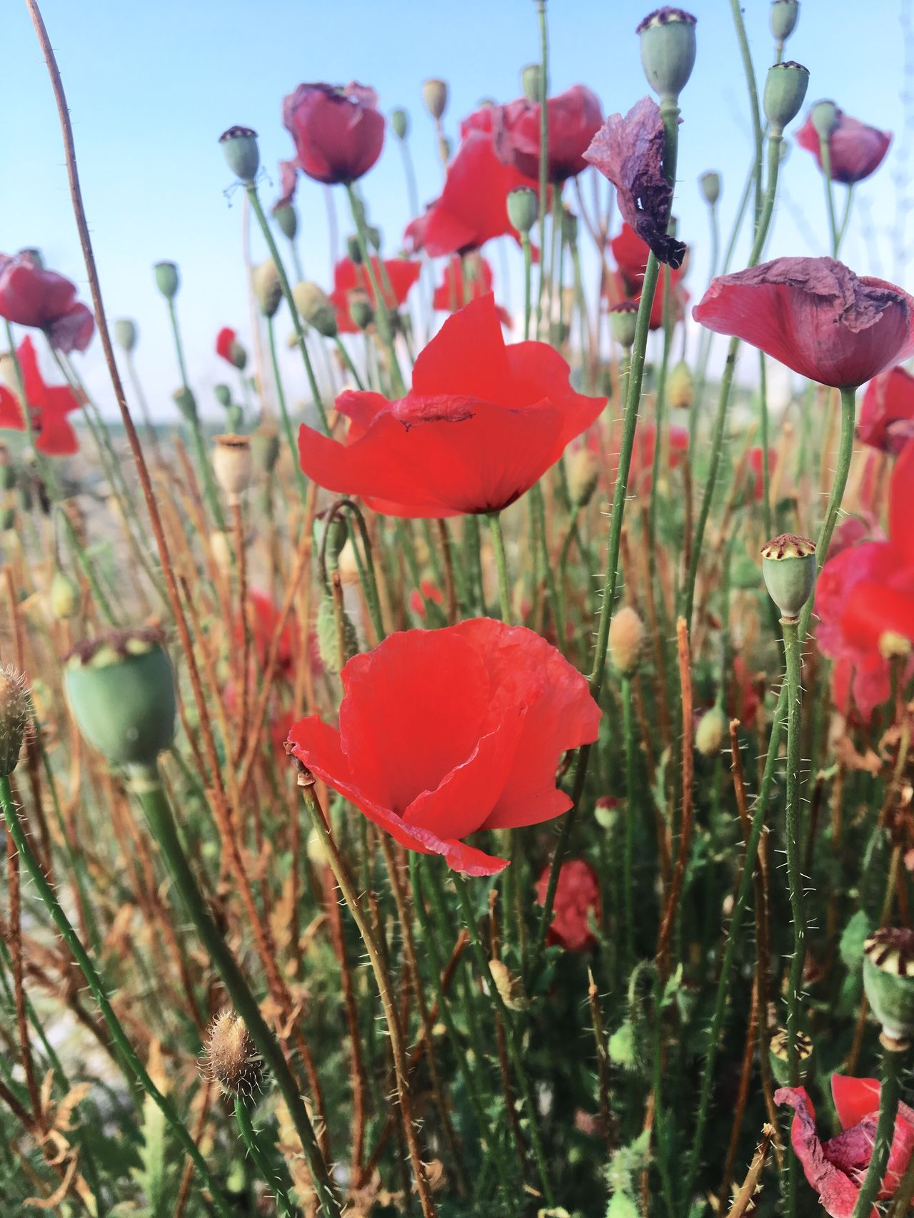EyeEmNewHere Flower Growth Beauty In Nature Petal Nature Plant Fragility Freshness No People Blooming Flower Head Red Outdoors Day Poppy Close-up