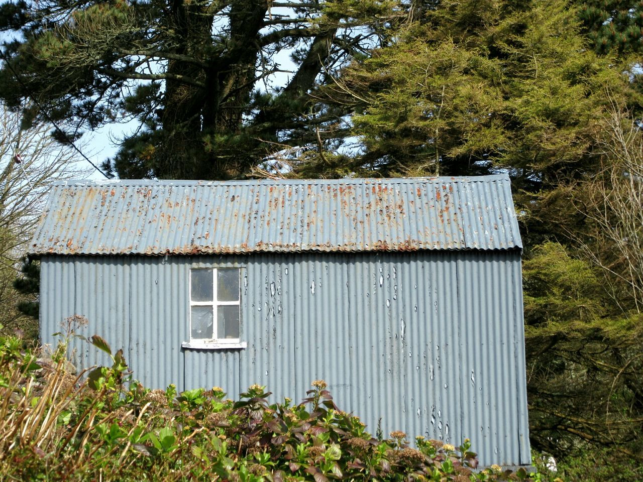 Tin shed Shed Sheds Corrugated Iron Grey Paint Rusty Monterey Cypress Glandore, Ireland West Cork Wildatlanticway Ireland