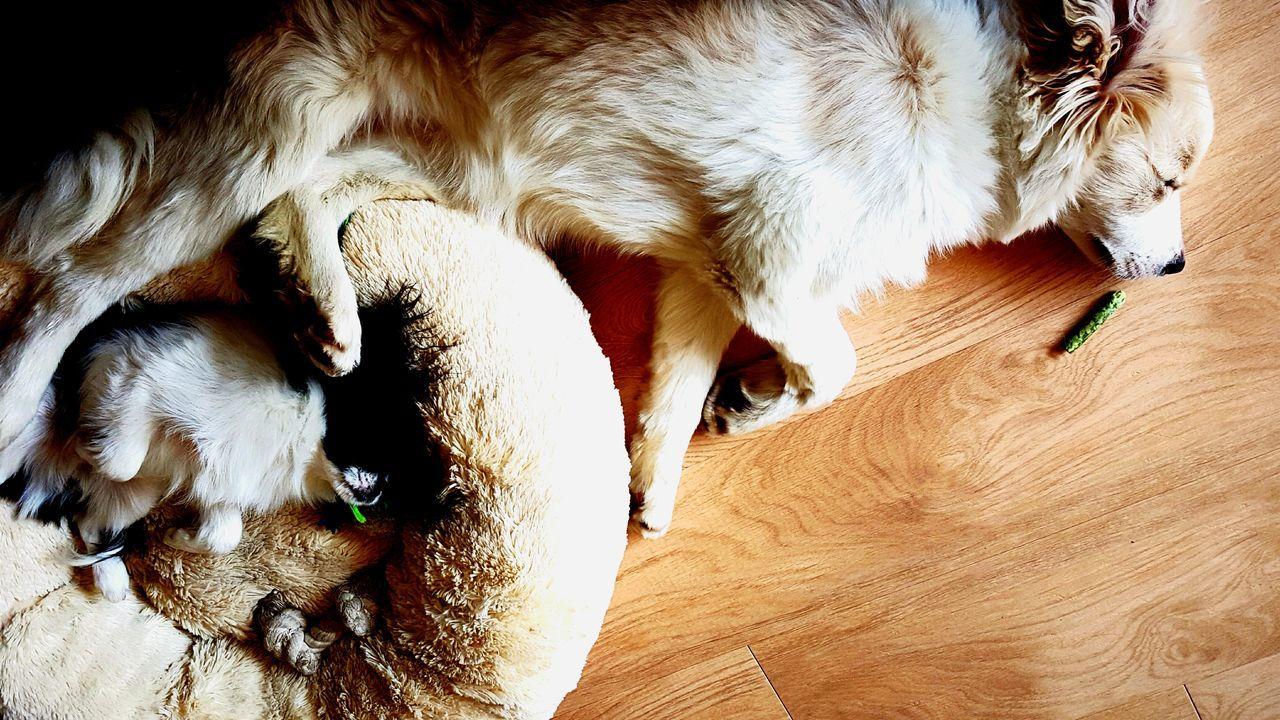 Sleeping Dog Sleepong Dogs Border Collie Sleep Animal Pet Dog Dog Love Puppy Love Puppy Adorable Dog Adorable Cute Dog  Cute Cute Pets Beautiful Japanese Chin Peaceful Siblings Showcase July Eyeemphoto