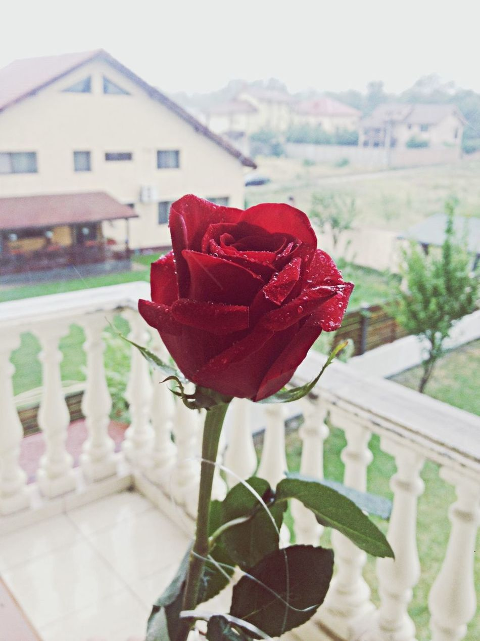 Red Roses Rose🌹 Nature