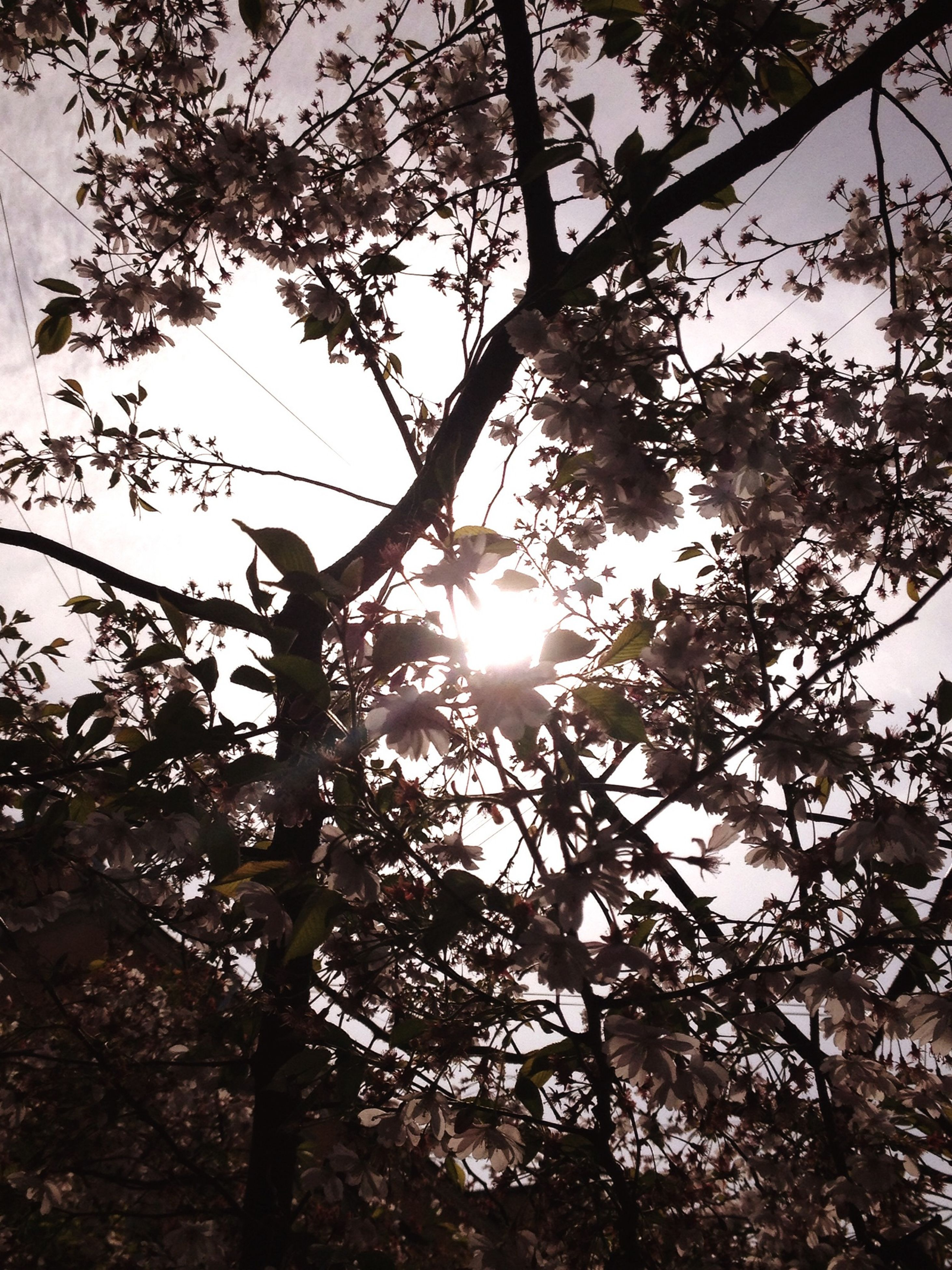 tree, sun, low angle view, branch, silhouette, tranquility, growth, sunlight, nature, sunbeam, sky, beauty in nature, lens flare, tree trunk, back lit, scenics, tranquil scene, sunset, outdoors, no people